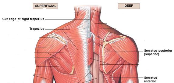 Anatomy Shoulder